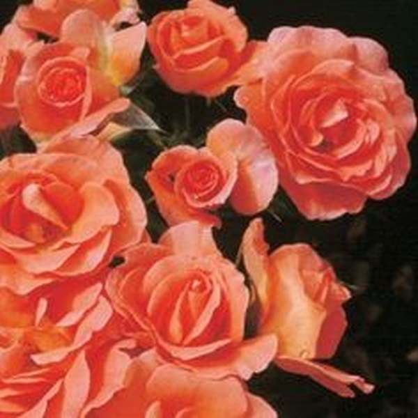 Harkness scented english roses